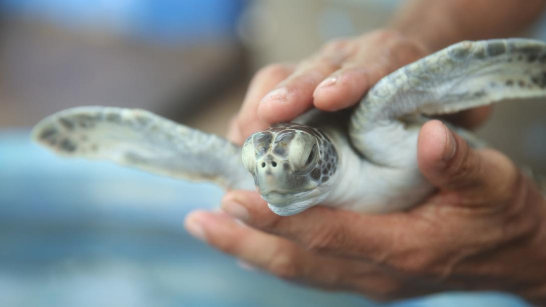 A volunteer moving a baby sea turtle so he can clean the turtle tank